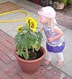 Generic Frische 50 Stück Sonnenblumenkerne zum Pflanzen von Gelb 2