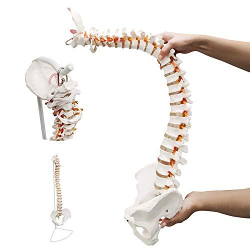 Ultrassist Life Size Human Spine Model, 34
