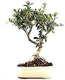 Bonsái 7 Años Olea Europaea Olivo Europeo Planta Natural del Mediterráneo
