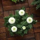 Yumhouse Semillas de Flores para Jardin,Chrysanthemum Seeds Are Easy to Live-White_500 Capsules,Semillas de Flores Exterior trepadoras