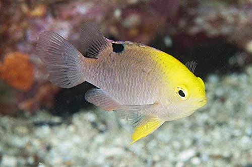 【海水魚/観賞魚/スズメダイ】 トールボッツダムセル ■サイズ:2.5cm± (30匹)