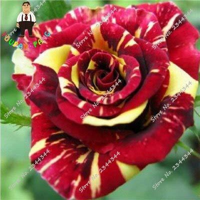 Kalash New 20pcs Rose Blumensamen für Garten Rot Gelb