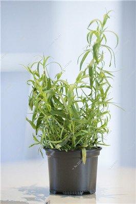 Verbena hybrida Graine verveine Hortensis Bonsai Flowr semences Balcon intérieur Plantes jardin Fleurs colorées Woodland 100 Pcs 2