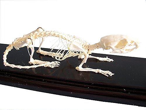 C & A Scientific 51012 Ratte Skelett auf Finished Holzsockel mit transparenter Abdeckung