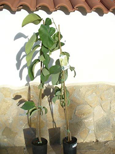 1x Cherimoya (Annona cherimola), Zimtapfel, Rahmapfel oder Süßsack - ein Baum ca. 150-160 cm hoch