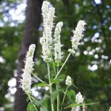 Plant World Seeds - Agastache Nepetoides Seeds