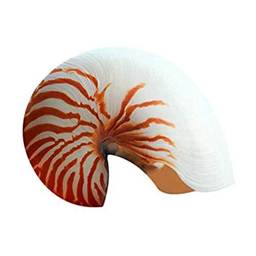 Huang 1 Pieza de Concha de Tigre Natural Nautilus Concha de