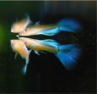 【熱帯魚・国産グッピー】 RREAアクアマリンネオンテール(ペア販売) ■サイズ:アダルト (1ペア)