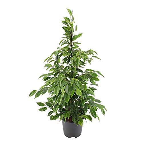 "Ficus benjamina""Anastasia"" | Birkenfeige | Höhe 100-110 cm | Topf-Ø 21 cm"