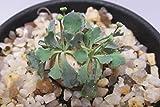 多肉植物 オトンナ カカリオイデス 2.5号鉢 ②