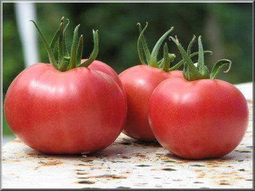 Portal Cool 25 Samen Tomate Rose Bern Methode Bio-Samen Gemüse Former Gelegentlich
