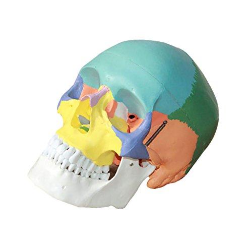 MagiDeal 3pcs Colorées Anatomique Humaine Life Taille 1: 1 Skull Medical Modèle Skeleton pour Enseignement