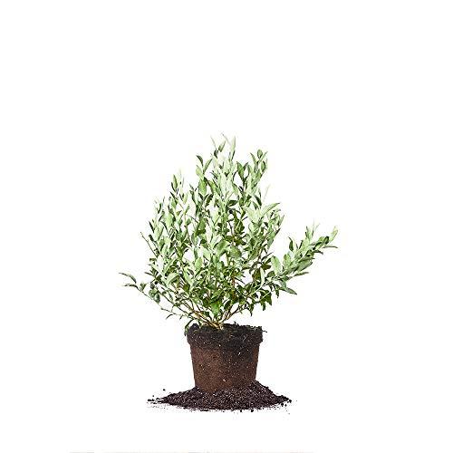 Perfect Plants Premier Blueberry Live...