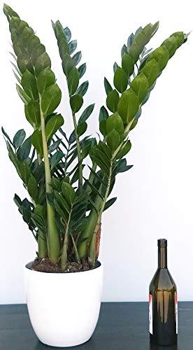 ZAMIOCULCAS XXL IN VASO CERAMICA BIANCO, Vaso 22 altezza 110cm, pianta vera