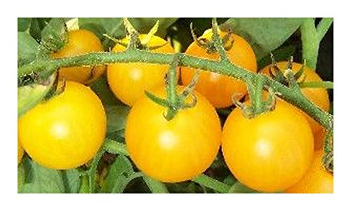 Tomate Reinhards Goldkirsche - tomate cerise rouge - 20 graines