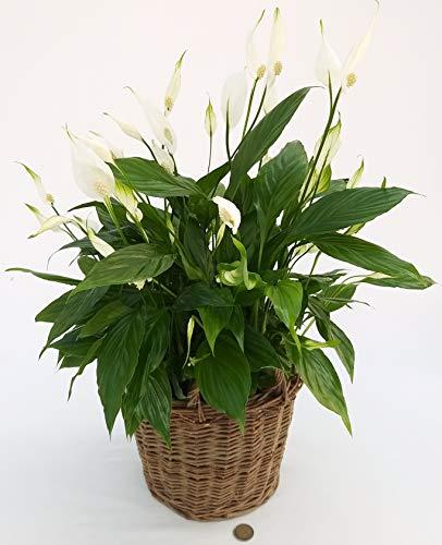 SPATIFILLO IN CESTO VIMINI, Spathiphyllum, Giglio della Pace, Pianta Vera