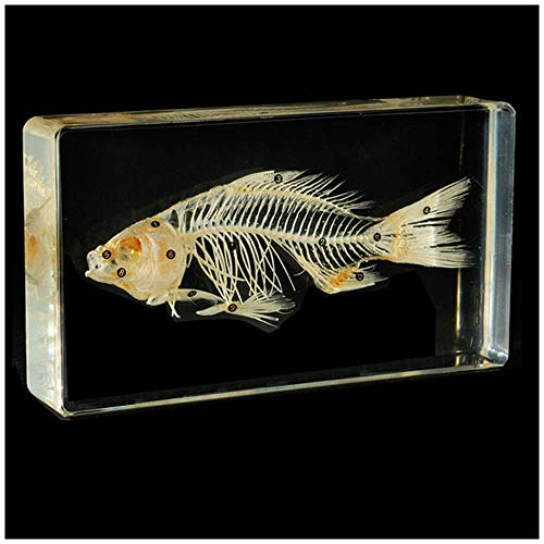 ALBB Specimens - Figura de esqueleto de pescado – Modelo d