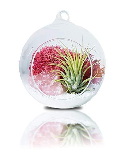 Tillandsien Pflanzen Mit Aufhängen Terrarium Glas Vase | Luftpflanzen Rosenquarz Deko | Glas-Übertopf Rund 12 cm | Zimmerpflanze Geschenk Set