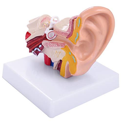 Kaxofang das 1,5 Fache Modell der Menschlichen Ohranatomie Zeigt die Organ Struktur der Zentralen und Externen Ohren