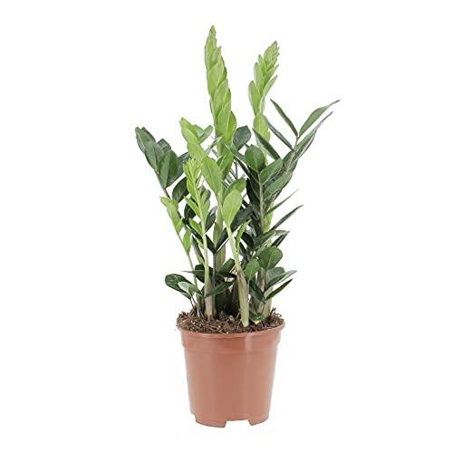 KENTIS - Zamioculcas Zamiifolia - Piante Vere da Interni Purifica Aria - H 45-60 cm Vaso Ø 17 cm