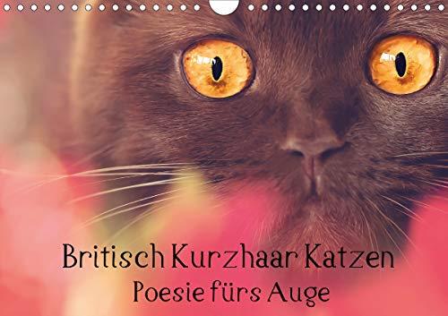 Britisch Kurzhaar Katzen - Poesie fürs Auge (Wandkalender 2020 DIN A4 quer)