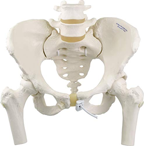 女性骨盤模型,可動型・大腿骨付