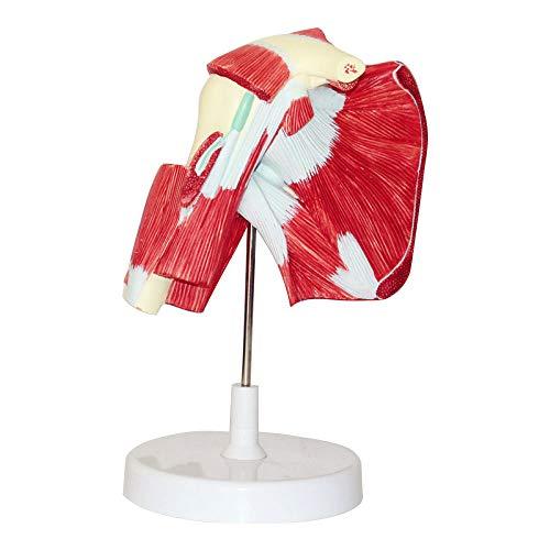 N \\ A Modell des Muskulösen Schultergelenks - Zeigt Die Vollständige Schultermuskulatur Von Der Rotatorenmanschette Bis Zu Den Subkapulären Muskeln - Beinhaltet Die Basis Für Den Unterricht