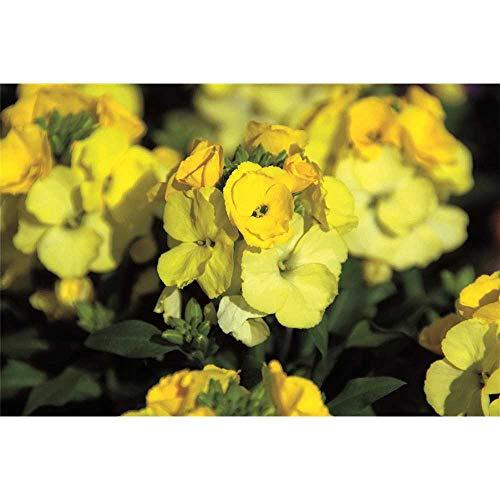 Goldlack, Erysimum cheiri, Schnöterich 'Winter Light', gelb - winterhart, im Topf 12 cm, in Gärtnerqualität von Blumen Eber - 12 cm