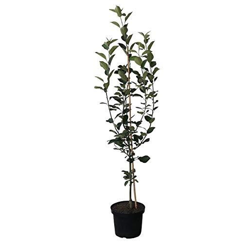 Müllers Grüner Garten Shop Apfelbaum Rebella mehrfach resistenter Herbstapfel Buschbaum ca. 120-150 cm 9,5 Liter Topf MM 111