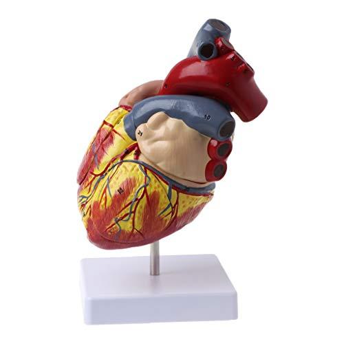 NABIAN Modelo anatômico de coração humano desmontado, órgãos de viscera médica de anatomia, ferramenta de recursos de ensino médico