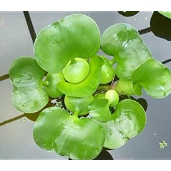 Water Hyancinth - Floating Live Pond Plant by Aquarium Plants Discounts