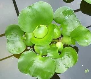 Aquarium Plants Discounts Water Hyancinth - Floating Live Pond Plant