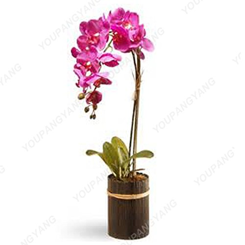 100 graines / paquet semencier japonais Radiata Aigrette Orchid Graines Espèce rare orchidée du monde Fleurs blanches Orchidee Plant Garden Bourgogne
