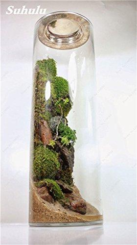 Vert mousse Graines 120 Pcs exotiques rares Graines Bonsai Moss Belle Moss Boule décorative Jardin créatif herbe Graines Plante en pot 6