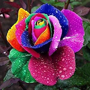 Dreamshopping - Semillas Rosa Arco Iris 25 Piezas Rosa Flor Semillas Jardin...
