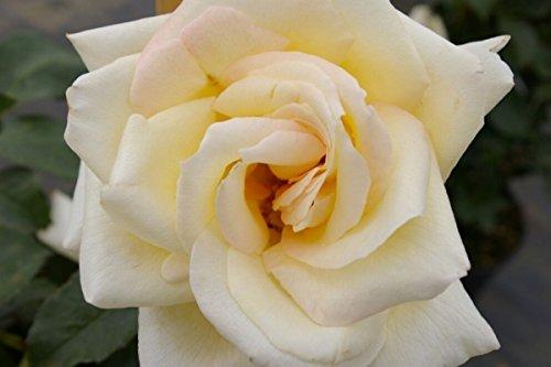 Kletterrose Schneewalzer® - Rosa Schneewalzer - reinweiß - Duft+++ - Tantau-Rose