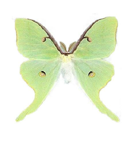 One Real Green Actias Luna Lunesta Moth Saturniidae Unmounted Wings Closed