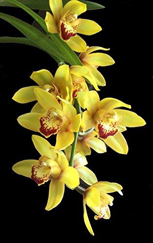 Cymbidium Orchid Plants
