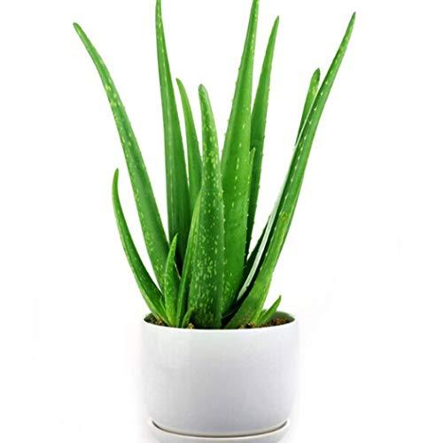 Ultrey Samenshop - 100 Stück echt Aloe Vera Samen, Erste-Hilfe-Pflanze Sukkulenten Bonsai Saatgut, Zimmerpflanzen saftig für Garten Balkon/Terrasse