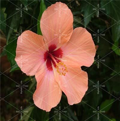 SANHOC 100 Pcs bonsaï géant Chinois Fleur d'hibiscus Bricolage Hibiscus Plante Flores Cadeau pour Vos Enfants Easy Grow Jardin Décoration: 7