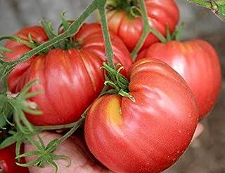 Tomate Oxheart Belmonte - ertragreich - 10 Samen