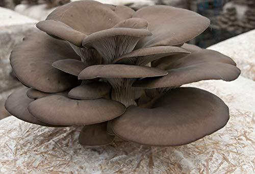 Kit 2 Pezzi Panetti Coltivazione Funghi Panetto Pleurotus Ostreatus 3 Kg Naturale Fungo Ostrica Casa...