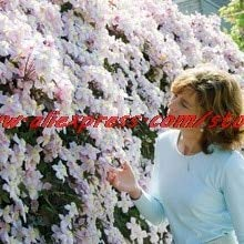 100 Clematis Bonsais Clematis Montana Mayleen Bonsais Rosa Rebe-Blumen Pflanze Bonsai Reben Kletterpflanzen Twining