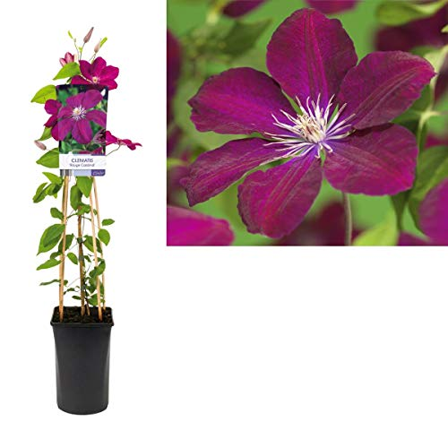 Waldrebe Clematis Rouge Cardinal 60-80 cm Kletterpflanze