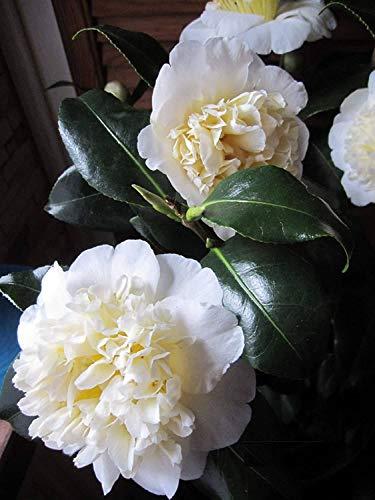 Camellia japonica Brushfield Yellow - japanische Kamelie Brushfield Yellow