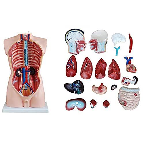 K99 Modelo de anatomía del Cuerpo del Torso Humano - Modelo anatómico del Torso Masculino: la anatomía médica Esqueleto Humana se Puede diseccionar en 19 Partes, 85 cm de Altura