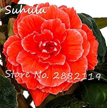 Rose Rieger Begonia Samen 50 PC Malus Spectabilis Topf Seed Seltene Balkon Terrasse Blumensamen für Hausgarten-Pflanzen der Easy 1 wachsen