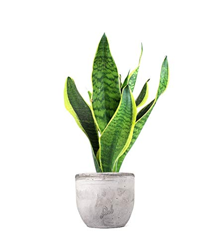 FLOB Sansevieria trifasciata, pianta Vera | con Vaso Artigianale Ø 12| Altezza 25 cm | Piante da Interno| sanseveria trifasciata laurentii | Flobflower Piante