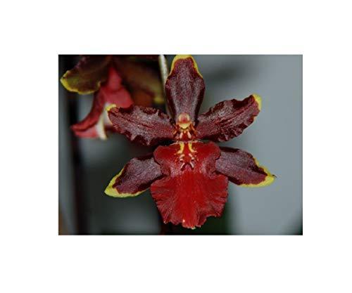 Stk - 1x Colmanara Wildcat Cathy Multiflower dunkel rot Orchidee OW53 - Seeds Plants Shop Samenbank Pfullingen Patrik Ipsa