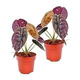2x Alocasia cuprea Red Secret   Plante verte d'intérieur   Purificatrice d'air   Hauteur 25-30cm   Pot Ø 12cm